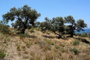 W gaju oliwnym zaklęci
