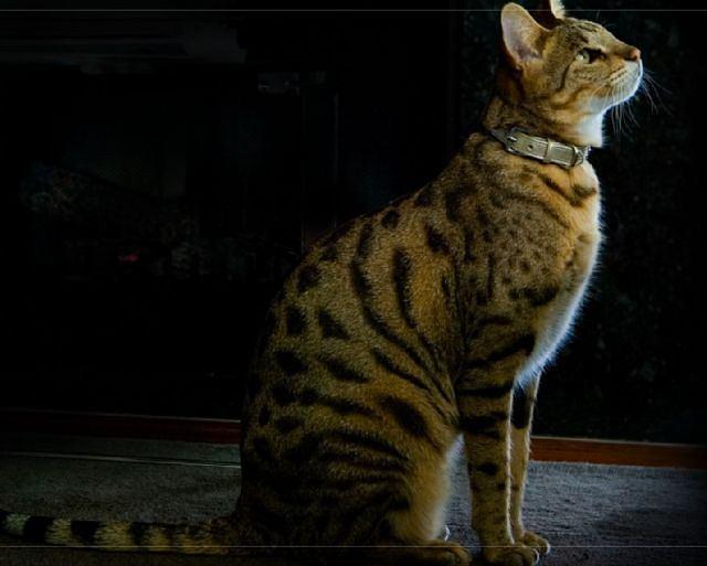 Ashera Najdroższy Najpiękniejszy I Najbardziej Egzotyczny Kot