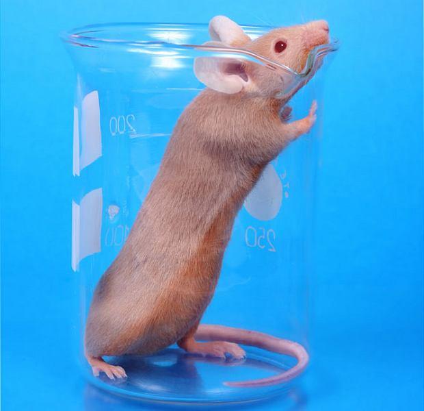 Szczur na odwyku