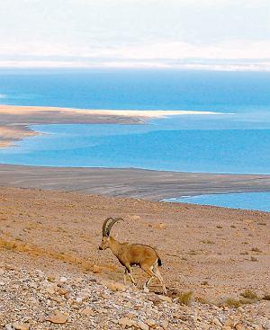 Takie antylopy w górach nad Morzem Martwym jedzą z ręki.