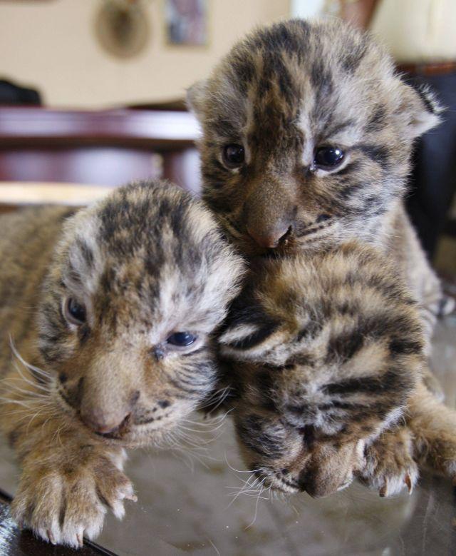 Tygryski razem REUTERS/ALI JAREKJI