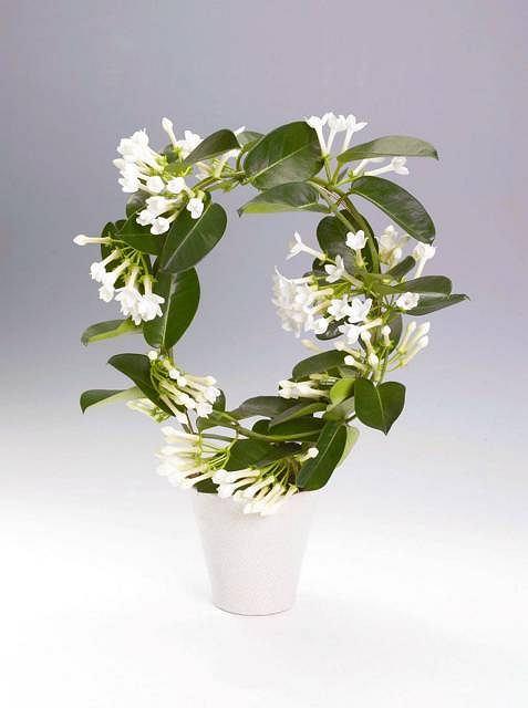 Stefanotis Bukietowy. To piękne pnącze wymaga dużo światła i świeżego powietrza, ale źle znosi bezpośrednie nasłonecznienie. Intensywnie pachnące białe kwiaty rozwijają się od maja do sierpnia.