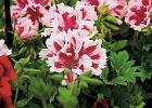 Pelargonia wielkokwiatowa. Szeroko rozpo�ciera p�dy, dorastaj�c do 60-80 cm. Kwiaty s� jedno- lub dwubarwne, bia�e, r�owe, czerwone