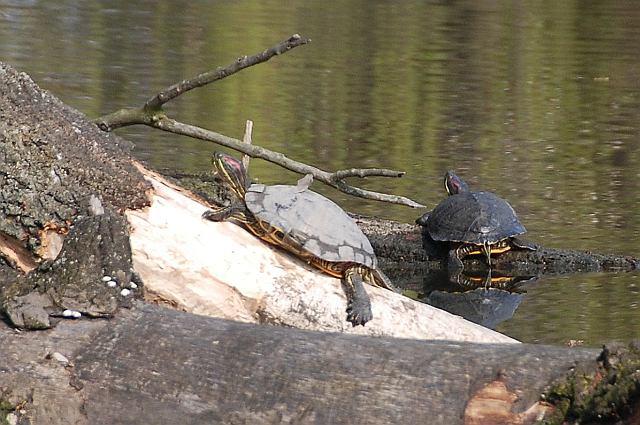 W Parku Skaryszewskim osiedliły się żółwie czerwonolice