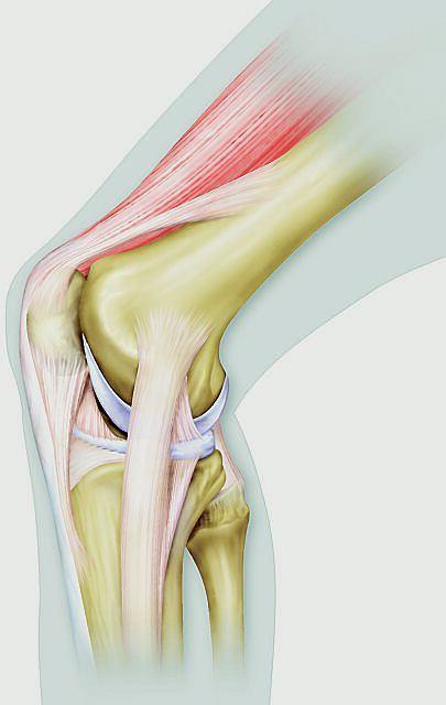Kolano, budowa kolana, przekr�j kolana, staw kolanowy