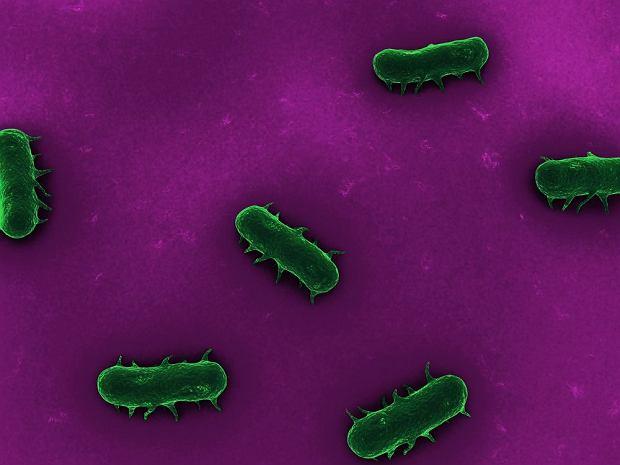 Salmonella pomo�e walczy� z rakiem