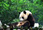 Rozstrzygnięto konkurs na opiekunów pand