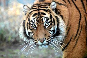 �wiat ratuje tygrysy
