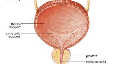 Pęcherz moczowy i prostata. Ilustracja przedstawia przekrój pęcherza moczowego i prostaty (pod pęcherzem). Prostata jest przecięta przez odcinek cewki moczowej, do której przepływa sok sterczowy, płyn alkaliczny zwiększający ruchliwość plemników