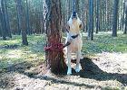 Ktoś przywiązał do drzewa labradora