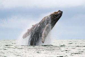 e32f88b0596044 Japonia ma zaprzestać wszelkich połowów wielorybów - orzekł Międzynarodowy  Trybunał Sprawiedliwości
