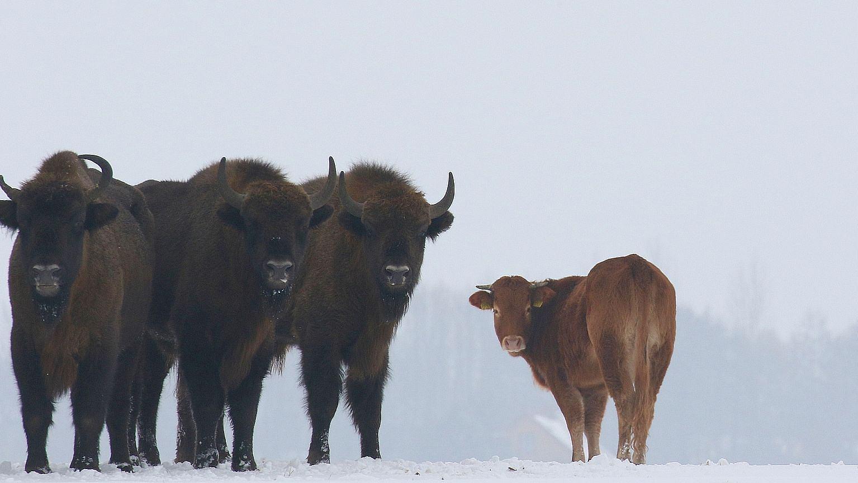 Styczeń 2018. Krowa z żubrami w Puszczy Białowieskiej
