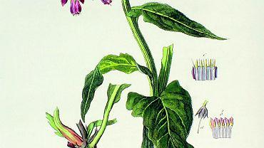 Żywokost lekarski (Symphytum officinale) wwielu krajach bezmyślnie usunięto zlisty ziół leczniczych