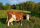 """Ub�j rytualny. Rolnicy �li na PiS, przywie�li Kaczy�skiemu w prezencie krow�. """"Zostanie na Nowogrodzkiej"""""""