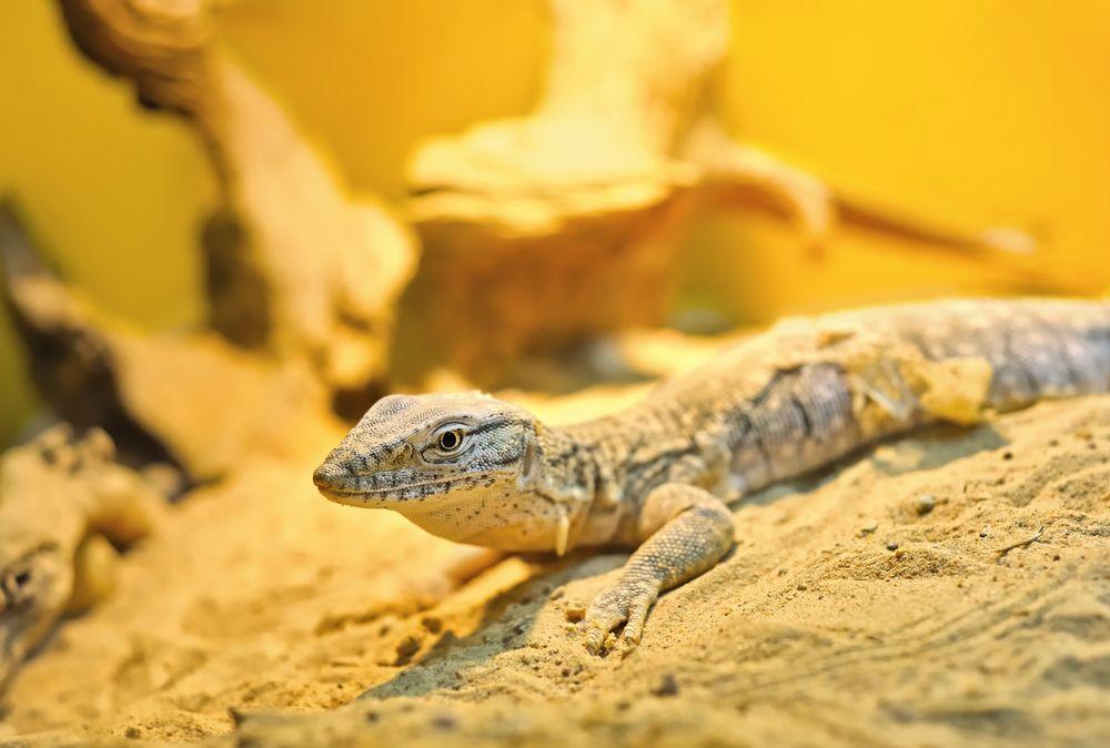 Goanna, australijska jaszczurka / fot. Shutterstock