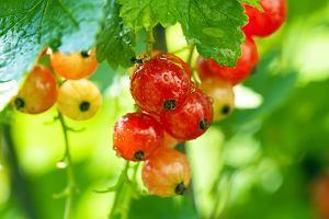 Owoce a kalorie: porzeczki