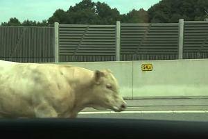 Byk szalał na autostradzie. Sceny (prawie) jak na hiszpańskiej korridzie