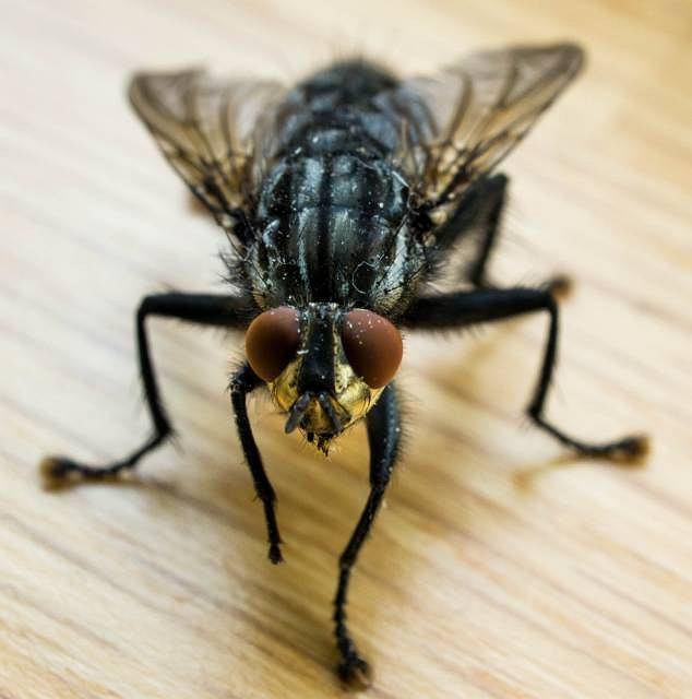 Nicień wywołujący chorobę przedostaje się do krwioobiegu wskutek ugryzienia muchówki