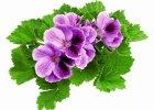 Kwiaty balkonowe: królowa jest tylko jedna
