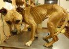 Rodzina głodziła psa przywiązanego do komody. Ledwo przeżył