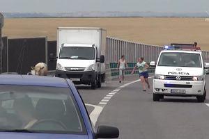 Byk na słowackiej autostradzie.Ruch wstrzymano na godzinę