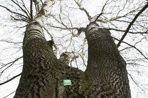Zgłoś drzewo na pomnik przyrody. Ratujmy drzewa dla przyszłych pokoleń