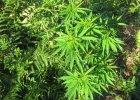 9 rzeczy, kt�re (zdaniem profesora Vetulaniego) powinni�cie wiedzie� o marihuanie