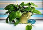Rośliny doniczkowe: nasze tropiki