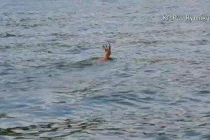 Jelonek pływał w Zalewie Rybnickim. Uratowali go policjanci