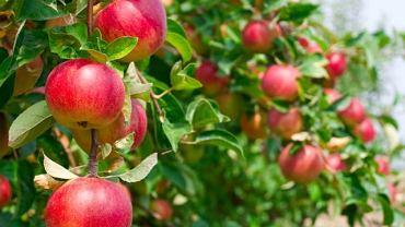Według portalu freshplaza.com wyprzedzamy nawet Chiny w światowym handlu świeżymi jabłkami