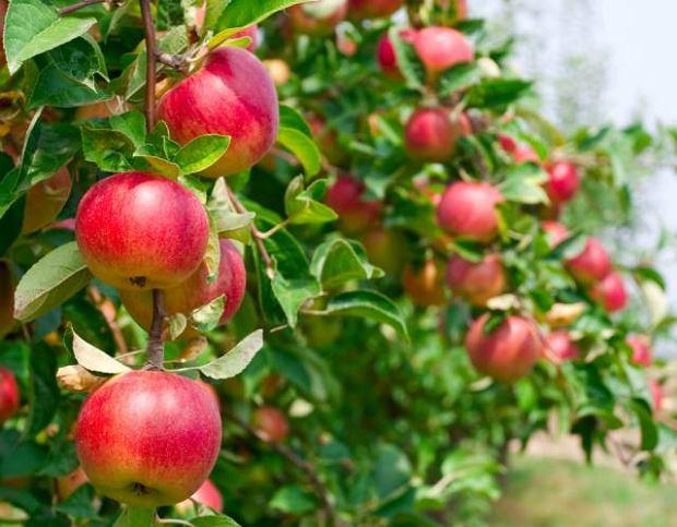 Według portalu freshplaza.com właśnie wyprzedziliśmy Chiny w światowym handlu świeżymi jabłkami.