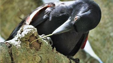 Wrona brodata z wykonanym przez siebie haczykiem