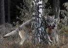 Wilki w Puszczy I��eckiej. Nie ma si� czego ba�