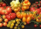Skąd się wzięły duże, mięsiste pomidory? Odkrycie genetyków