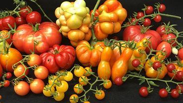 Pomidory w całej swojej zmienności. Genetycy znaleźli gen, który odpowiada za różnice w ich wadze i rozmiarze