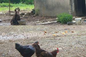 Bieszczady. Niedźwiadek odwiedza karczmy, podjada kurom. Będzie musiał pożegnać się z łatwym życiem? [WIDEO]