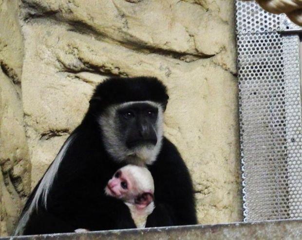 W zoo w Chorzowie urodziła się biała małpka [ZDJĘCIA]