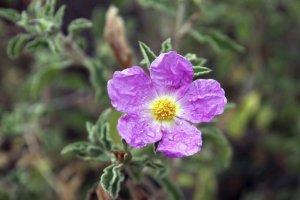 CZYSTEK - właściwości i zastosowanie zioła. Czy warto je pić?