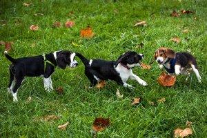 Pierwsze psy z in vitro