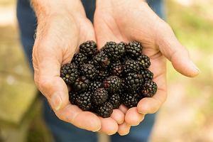 Jeżyny - leśna skarbnica zdrowia. Wartości odżywcze i właściwości zdrowotne jeżyn