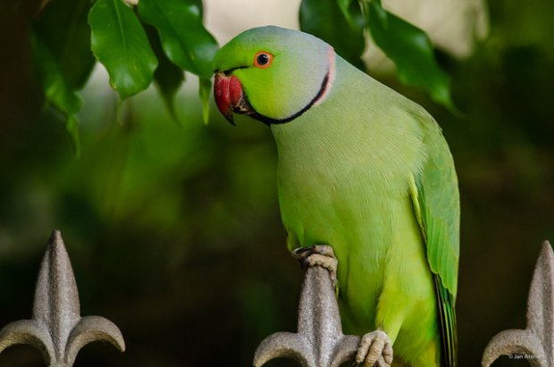 Nie od dziś wiadomo, że papugi potrafią naśladować ludzką mowę. Wiadomo też, że potrafią odwzorowywać różne melodie. Ale, żeby papuga śpiewała lepiej, aniżeli jedna z największych gwiazd popu... Aż trudno w to uwierzyć.