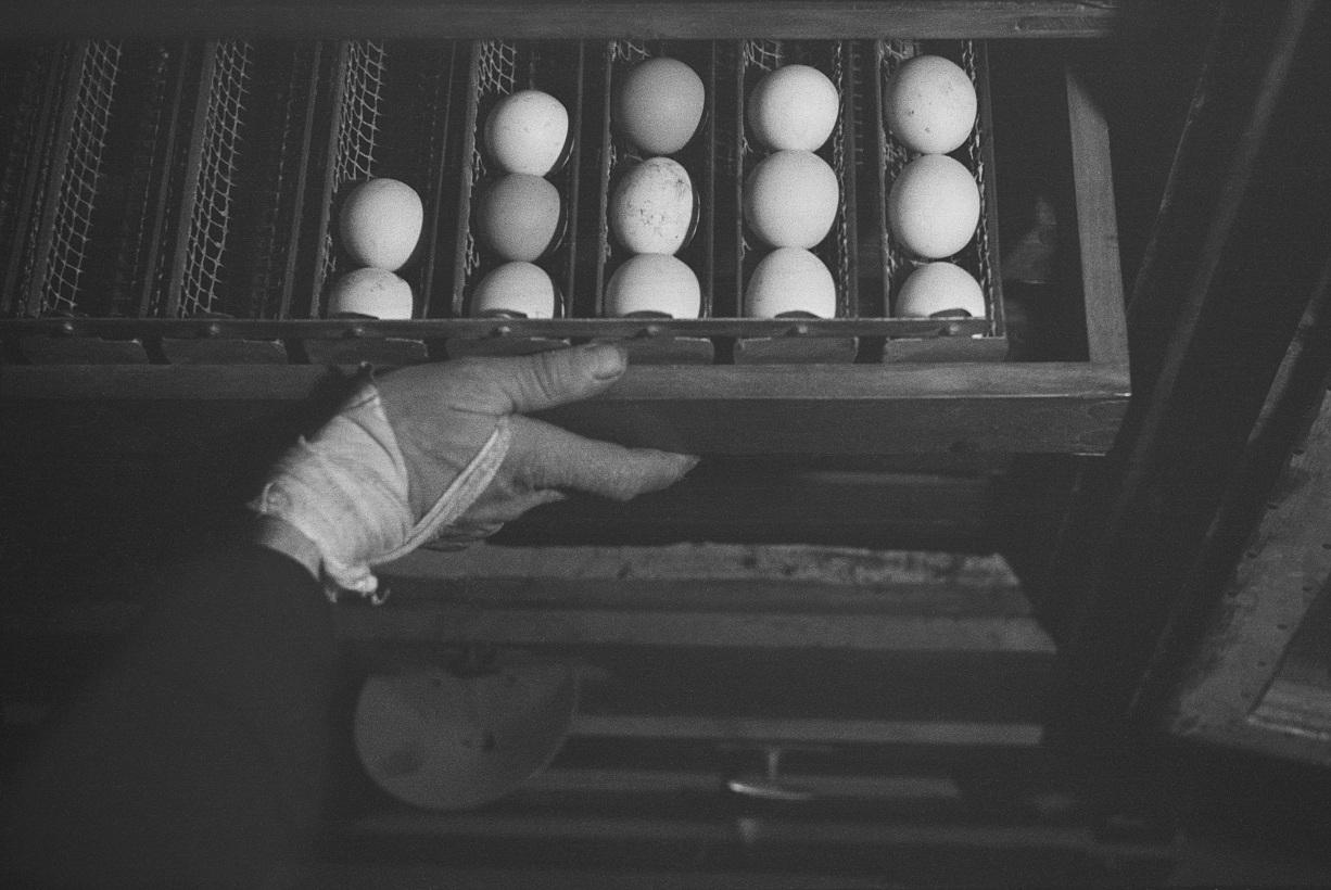 Szuflada świeżo zebranych jajek, Gut Winkel - gospodarstwo szkoleniowe dla młodych niemieckich Żydów planujących emigrację do Palestyny, Spreenhagen in der Mark, Brandenburg, Niemcy, ok. 1938 (fot.   Mara Vishniac Kohn, dzięki uprzejmości  International Center of Photography)