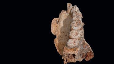 Odkryty fragment kości szczękowej z zębami.