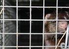 Pogryzione, ranne, oszalałe zwierzęta. Szokujący raport na temat warunków hodowli zwierząt futerkowych