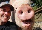 Esther ma dwa lata i 300 kg. Jest najbardziej kochaną świnią na świecie