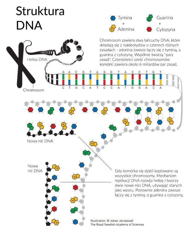 Gdy komórka się dzieli kopiowane są wszystkie chromosomy. Mechanizm replikacji DNA rozwija helisę i tworzy dwie nowe nici DNA, używająć starych jako wzoru. Ponownie adenina zawsze łączy się z tyminą, a guanina z cytozyną.