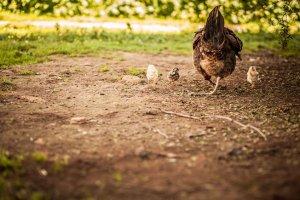 Nauczyciele dostają pensje w kurczętach. Jeden kurczak to 2,5 dolara
