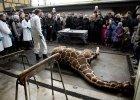 """Kopenhaskie zoo zastrzeliło """"niepotrzebną"""" żyrafę. Zaledwie 2-letnią. Obrońcy zwierząt wściekli"""