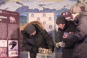Naukowcy znaleźli na Syberii dwa zamrożone lwiątka. Zachował się każdy szczegół - mają nawet wąsy!