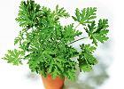 Geranium - jak je wykorzysta� w kuchni
